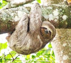 th_sloth