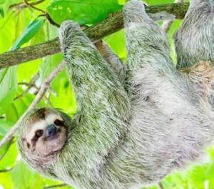 th_sloth-hanging